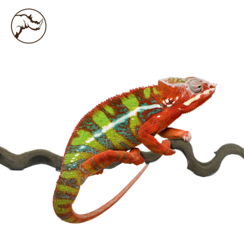 Liaan Snakewood Reptiel 200 cm