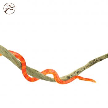 Liaan Taowan Small Reptiel...