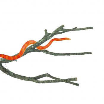 Corky Branch Medium