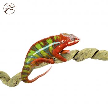 Liaan Taowan Large Reptiel 200 cm